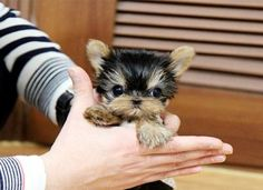 Micro Tiny Teacup Yorkie puppies available