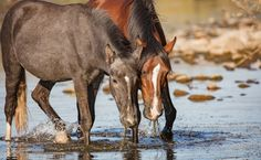 Animal advocates are celebrating a major victory for a beloved herd of wild horses in Arizona's Tonto National Forest, who are now officially protected from being removed and slaughtered. The herd, known as the Salt River wild horses, became the center of a major controversy in 2015, when the Forest