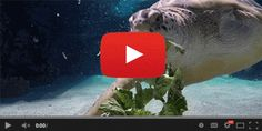 The National Aquarium's sea turtle gif is an example of video in email best practices.