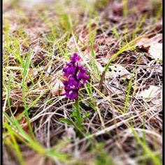 Orchidea selvatica. Appennino tosco-romagnolo (vicino)