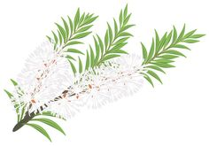 Gift From Nature: Tea Tree Oil