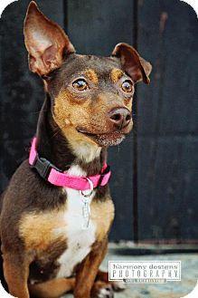 Nashville, TN - Miniature Pinscher/Dachshund Mix. Meet Gracie a Dog for Adoption.