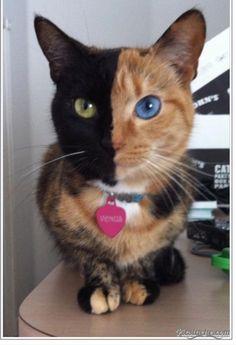 An Artemis/Holly cat.