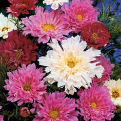 Double-flowered white, pink, and rosy-red blooms all summer long on a very easy sun-loving annual. Great for cutting, these blooms are much larger and brighter than other Cosmos!