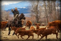 Cowboyin' on a Montana Ranch: Brian Quigley of Avon, Montana rides through his Red Angus cattle herd to find some calves to doctor. Submitted by: Lauren
