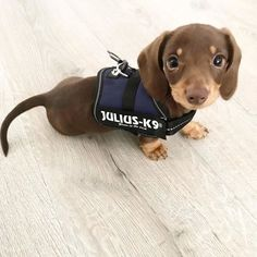 Supa Dogs : Reporting for duty! Dachshund Puppies, Weenie Dogs, Cute Dogs And Puppies, Labrador Puppies, Dapple Dachshund, Retriever Puppies, Daschund, Chihuahua Dogs, Baby Dogs