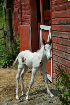 FARMHOUSE – ANIMALS – spring is a time for renewal and rebirth on the farm, love the old red barn and the sweet little foal.