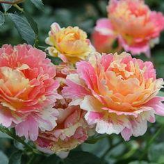 Rose des Cisterciens (DELarle)