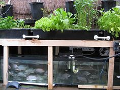 Do It Yourself—Aquaponics: Aquaponics is a system that combines aquaculture (fish-farming) and hydroponics (growing vegetables in nutrient-rich water).