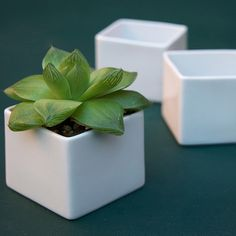 "Originally intended as sake cups, these button-size and budget-priced cubes are ideal containers for smaller succulents and epiphytes (that's botanist-speak for ""air plant"")."