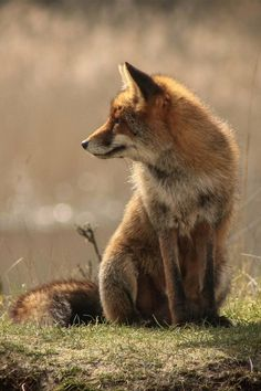 Photography / brazenbvll: Wild Fox : (©)
