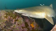 In danger . Nurse Shark, Underwater World, Conservation, Future, Grey, Gray, Future Tense, Canning