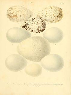 Zur Fortpflanzungsgeschichte der gesammten Vögel Dresden,[1856?]. biodiversitylibrary.org/page/13663550