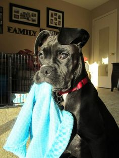 """Wow! Adorable...My sweet girl also carries her baby blankets around. In cold weather, she will bring them to me so that I can """"tuck her in"""""""