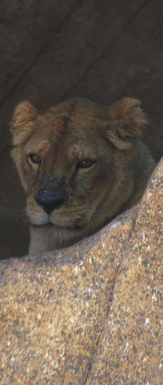 #Leoa no #Zoologico do #RiodeJaneiro - Photo: #AlexandreMacieira | #RioZoo #RJ #Brasil