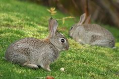 """Learn about raising meat rabbits in """"From Hutch to Haute Cuisine"""" on  Suburban Homesteading."""