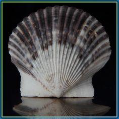 https://flic.kr/p/bmF14C | Scallops on the half shell | Atlantic Bay Scallop