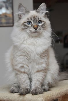 Neva Masquerade, Siberian Cat Finally! Now I know what kind of cat Kiki is