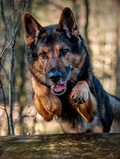 Walkers German Shepherd Bo. He is a big guy that is half brothers with Megan's   dog Coal. He is much like his brother and they get along. Bo was a K9 dog that had a cop partner until he got killed. Walker found him and rescued him