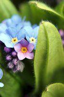 Blühendes Vergissmeinnicht (Nahaufnahme)