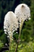 Beargrass, Mt. Rainier National Park, July 2012. Photo by Pat Snyder.