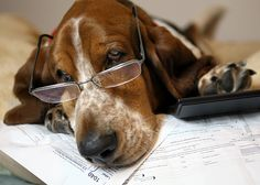 basset hound chester doing taxes