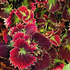 'Tilt a Whirl' coleus- such an easy plant to grow and constant color