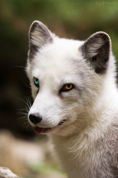 Arctic Fox by Cloudtail