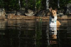 LENNU THE LASSIE Smooth Collie
