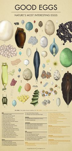 A topical study of the most interesting eggs found in nature. Birds, fish, reptiles, amphibians, insects and even mammals are included. Natural World, Natural History, Cultura General, Nature Table, Bird Species, Nature Animals, Science And Nature, Natural Wonders, Amazing Nature
