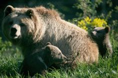 Brown Bear Endangered do to habitat loss and over hunting. GettyImages-74005381