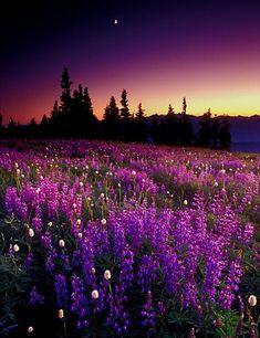 Pasture of Purple