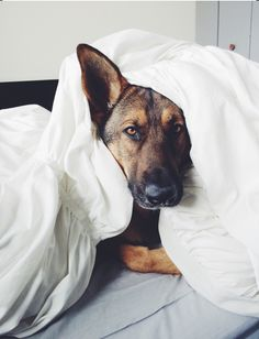 I'd cuddle with this guy. #Shepard  #dog #peace