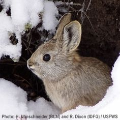Pygmy Rabbits Winter Over In Washington - The Rainforest Site
