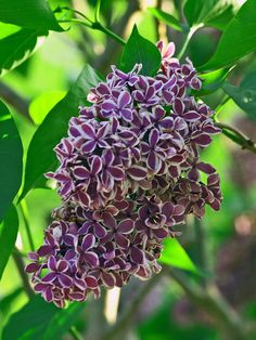 Oh how I miss my lilac bushes, I had one like this, white, pale yellow and several pink ones.