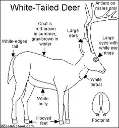 This is a cloze booklet all about the white tailed deer
