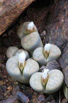 Lithops at Desert Botanical Garden - Living Stone, via Flickr.