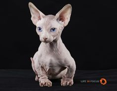 Chatterie Mystique Sphynx- Bambino Elf Cat Dwelf - American Curl - Ideas of American Curl - Chatterie Mystique Sphynx- Bambino Elf Cat Dwelf The post Chatterie Mystique Sphynx- Bambino Elf Cat Dwelf appeared first on Cat Gig. American Wirehair, Dwelf Cat, American Curl Kittens, Exotic Cat Breeds, Animals And Pets, Cute Animals, Purebred Cats, Munchkin Kitten, Sphinx Cat