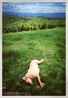 Oscar the Rhodesian Ridgeback, stretched out in Vermont. Photo by Natalya Zahn, from www.oscaratemymuffin.com