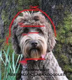 In this installment of How to clip your Labradoodle we are going to cover how to clip the head. How to Clip The Head: Step 1 –Start under the ears with the Size 10F Blade. Lift the ear, sta…