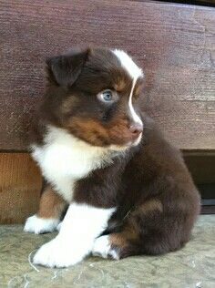Red Tri male Australian Shepherd