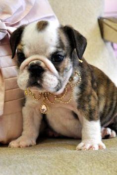 The Cutest Bulldog Family You Ll Ever See Minipet Online Pet