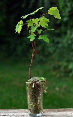 Darmowe zdjęcia na tapety, e-kartki, życzenia... Free Photos : Acer pseudoplatanus - Klon jawor bonsai w szklance...