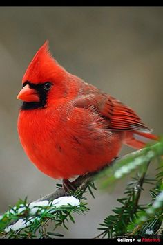 The Cardinal is the state bird in many states in the U.S.
