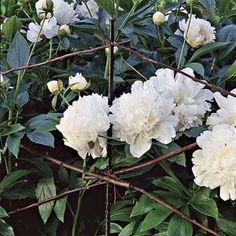 36- to 40-inch-tall 'Festia Maxima' peonies kept upright with stakes surrounding the plant beds