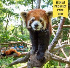 Prospect Park Zoo Red Panda