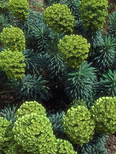 Mediterranean Spurge, John Tomlinson variety, is so cool!  it produces all of these colors in one plant.