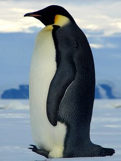Emperor penguin - photo reference