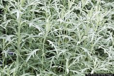 The Magick of Mugwort Mugwort is an herb that is found in many modern Pagan magical practices. For use as incense, for smudging, or in spellwork, mugwort is a useful herb. Herbs For Sleep, Tea Before Bed, Silver Plant, Herbs List, Russian Sage, Sacred Plant, Foliage Plants, Natural Herbs, Natural Healing