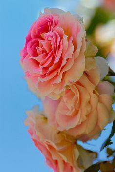 Rose at Keisei-Baraen (rose garden)
